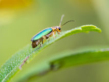 Metallic Wood-boring Beetle. Perched on a Leaf Royalty Free Stock Images