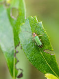 Metallic Wood-boring Beetle. Perched on a Leaf Royalty Free Stock Photography