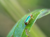 Metallic Wood-boring Beetle. Perched on a Leaf Stock Images