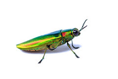 Metallic wood-boring beetle Royalty Free Stock Photo