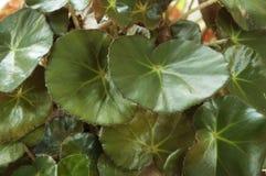 Metallicainstallatie van de begonia Stock Foto's