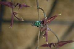 Metallische blaue Euglossine-Biene, die Duft von der Blume einer Gongora-Orchidee erfasst lizenzfreie stockbilder
