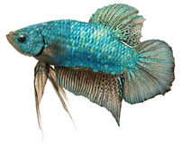 Metallisches blaues plakat. Betta Splendens. lizenzfreie stockfotos