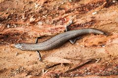 Metallisches Skink Stockbild