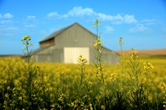 Metallscheune mit dem Senf-Feld ländlich in Palouse Washington Stockfotos