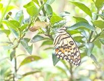 Metamorfizacja żółty motyl Zdjęcie Royalty Free