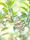 Metamorfizacja żółty motyl Zdjęcie Stock