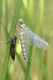 Metamorfizacja dragonfly Błękitna cerowaczka, Aeshna cyanea Zdjęcia Stock