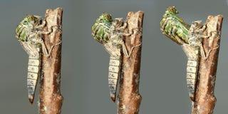 Metamorfizacja Rzeczny Clubtail dragonfly Fotografia Stock