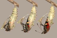 Metamorfose da borboleta de pavão imagens de stock