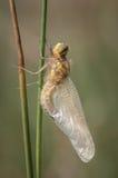 Metamorfose da libélula fotografia de stock royalty free