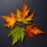 Metamorfose das folhas da cinza Fotografia de Stock