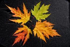 Metamorfose das folhas da cinza Fotografia de Stock Royalty Free