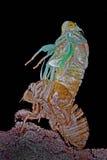 Metamorfose van een Cicade stock foto
