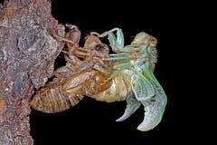 Metamorfose van een Cicade royalty-vrije stock afbeeldingen