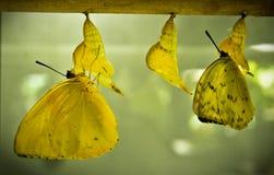 Metamorfose van een vlinder Royalty-vrije Stock Afbeeldingen