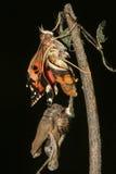 Metamorfose van Geschilderde damevlinder stock afbeeldingen