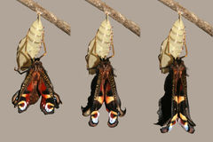 Metamorfose van pauwvlinder stock foto