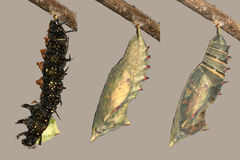 Metamorfose van pauwvlinder royalty-vrije stock foto