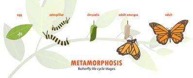 Metamorfosi del ciclo di vita della farfalla royalty illustrazione gratis
