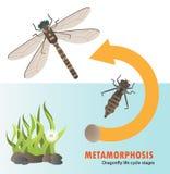 Metamorfosi del ciclo di vita della libellula illustrazione vettoriale
