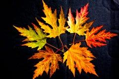 Metamorfosis de las hojas 03 de la ceniza Fotos de archivo libres de regalías