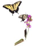 Metamorfosis de Swallowtail del tigre imagen de archivo libre de regalías