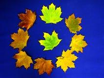 Metamorfosis del follaje de la ceniza en fondo azul Fotos de archivo