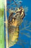 Metamorfosserie - Swallowtail Royaltyfri Bild
