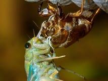Metamorphose der Tibicen pruinosus Zikade Lizenzfreie Stockfotografie