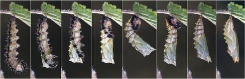 Metamorphose des kleinen Schildpatts (Aglais-urticae) stockfotos