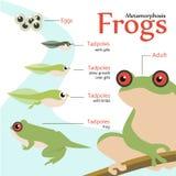 Metamorphose-Lebenszyklus einer Frosch Vektorillustration Stockfotos