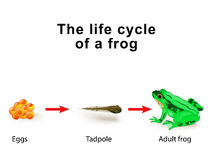Metamorphosis amphibians, for example, the life cycle of frogs Stock Photography