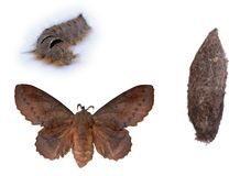 Metamorphosis of the Lappet moth Royalty Free Stock Photo