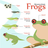 Metamorphosis Life cycle of a frog Vector illustration Stock Photos