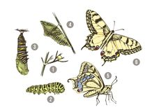 Free Metamorphosis Of The Swallowtail - Papilio Machaon - Butterfly Stock Image - 156369921