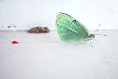 Metamorphosis: A Rebirth. A cabbage-white butterfly rests after having emerged from its chrysalis stock image