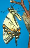 Metamorphosis series - Swallowtail. A Swallowtail butterfly emerges from its chrysalis and inflates its new wings royalty free stock photos