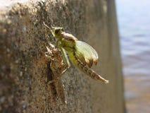 metamorphosizing的蜻蜓 免版税图库摄影