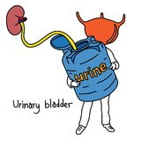 Metaphor function of urinary bladder is to store urine vector il. Lustration sketch hand drawn with black lines, isolated on white background. Education Medical Royalty Free Stock Image