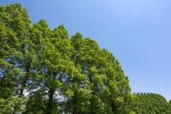 Metasequoia στο διαγώνιο μισό Στοκ Εικόνες