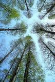 Metasequoia Stock Image