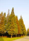 Metasequoia Photographie stock