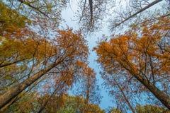 Metasequoia Fotografia Stock