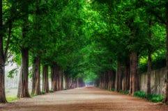 Metasequoia Zdjęcia Stock