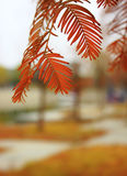 Metasequoia Royalty Free Stock Photos