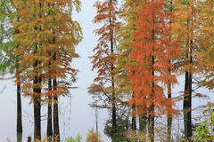 Metasequoia be a riot of colors in the fall Royalty Free Stock Photo