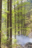 Metasequoia bos en aardse hitte Stock Afbeeldingen