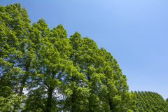 Metasequoia in diagonal half Stock Photo