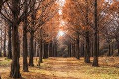Metasequoia droga w Seoul obrazy stock